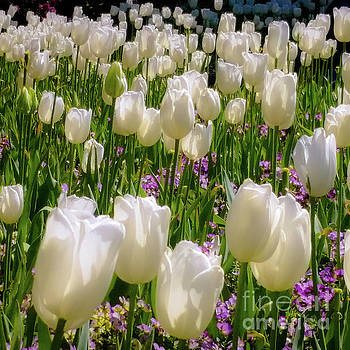 White Tulips in Bloom by D Davila