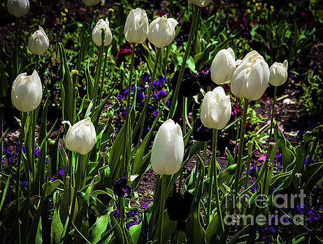 White Tulips by Jon Burch Photography