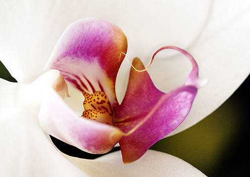 Marilyn Hunt - White Veil Orchid