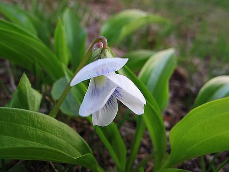White Violet by Lynn Harrison
