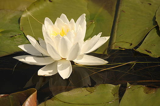 White Water Lily by Francoise Villibord Pointeau