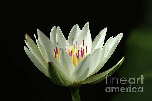 White Water Lily by Judy Whitton