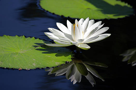 White Water Lily Reflection by Mark Michel