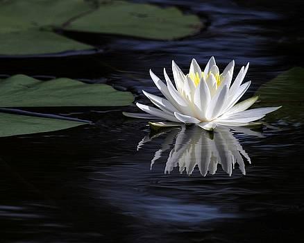 Sabrina L Ryan - White Water Lily