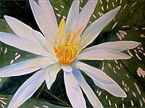White Waterlily by Darla Brock