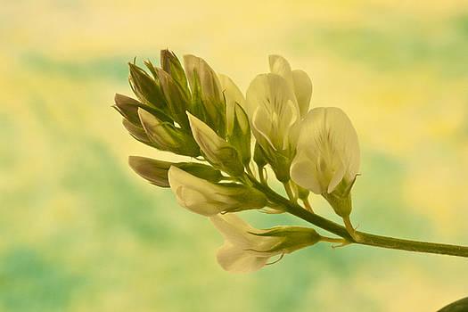 Sandra Foster - Milkvetch Wild Flower Macro
