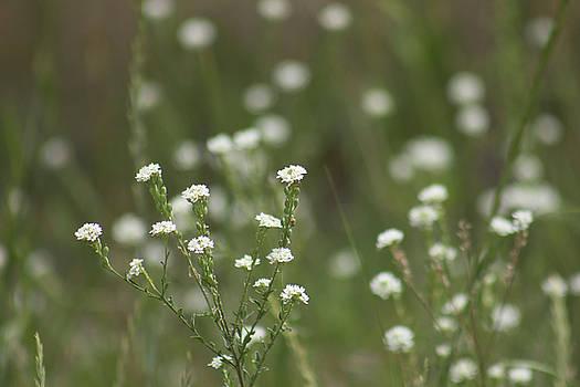 White Wild Flowers 3 by Jodi Vetter
