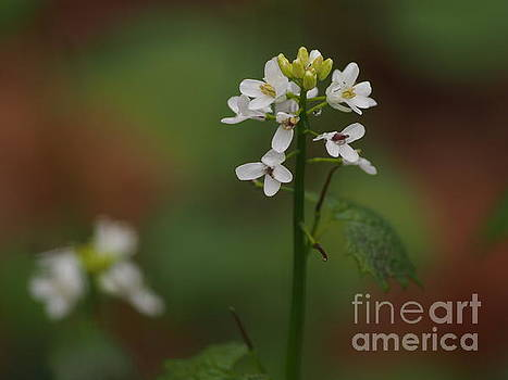 White Wildflowers by Dorothy Lee