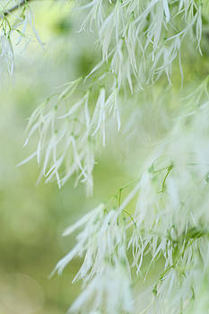 White Wind. Fringetree Bloom by Jenny Rainbow