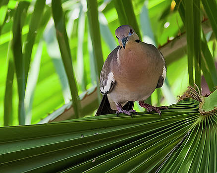 White-winged Dove h48 by Mark Myhaver