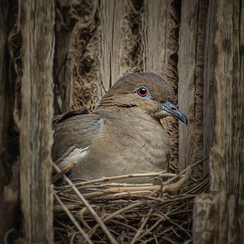Nikolyn McDonald - White-winged Dove - Nesting