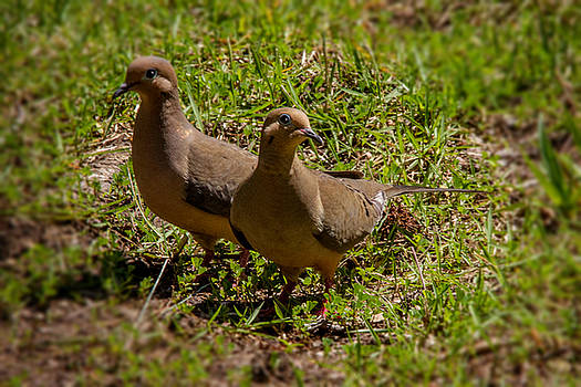 White Winged Doves by Barry Jones