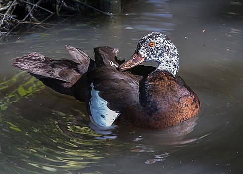 Dee Carpenter - White-Winged Duck