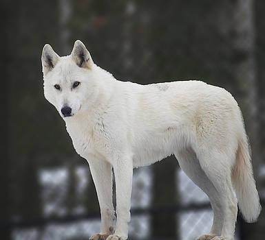 Elaine Mikkelstrup - White Wolf