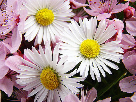 Baslee Troutman - White Yellow Daisy Flowers art prints Pink Blossoms