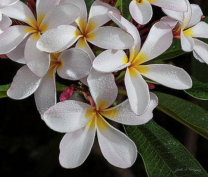 White/Yellow Plumerias in Bloom by John A Rodriguez