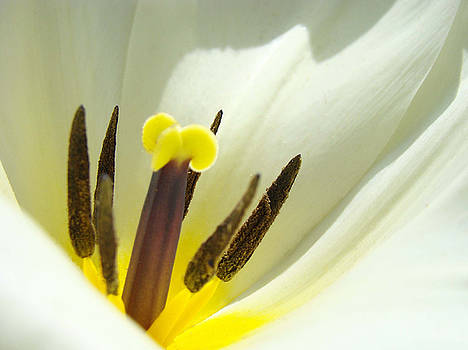 Baslee Troutman - White Yellow Tulip Flower Fine Art Prints