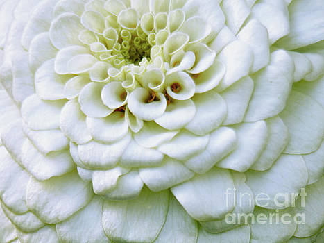 White Zinnia Flower Close-up by Carol F Austin
