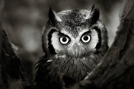 Whitefaced Owl by Johan Swanepoel