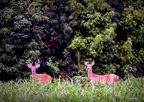 Whitetail Buck and Doe by Brian Wallace