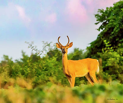 Whitetail Buck by Brian Wallace