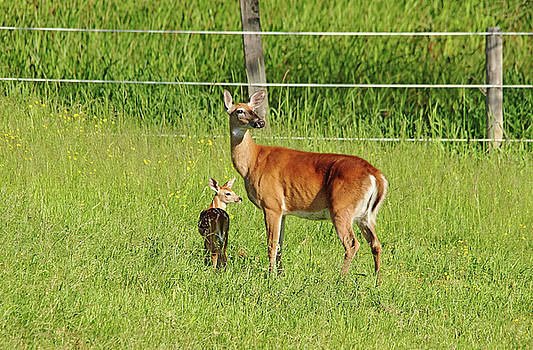 Debbie Oppermann - Whitetail Doe And Fawn