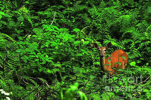 Whitetail Doe in Ferns by Thomas R Fletcher