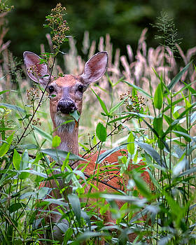 Whitetail Doe by Mike Koenig