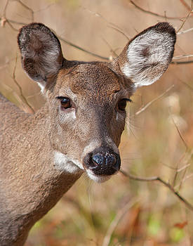 Whitetail Doe by Ron  McGinnis