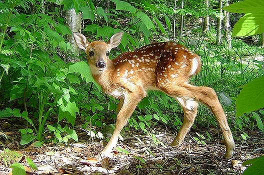 Whitetail Fawn by James Berger