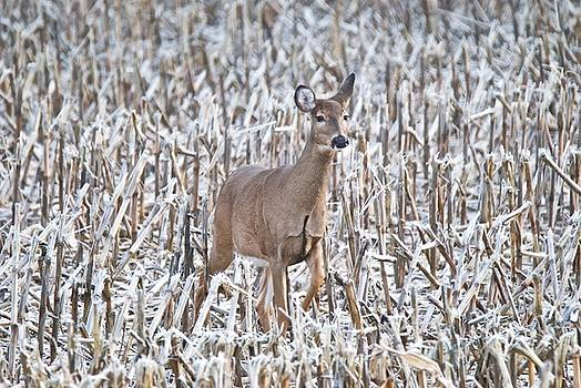 Michael Peychich - Whitetail in Frosted Corn 537