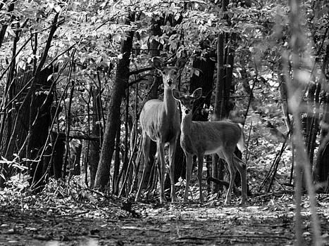 Scott Hovind - Whitetail Walk in the Woods
