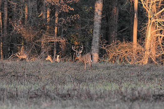 Whitetailed Buck at Sunset in Pinson Tennessee 122620151767 by WildBird Photographs