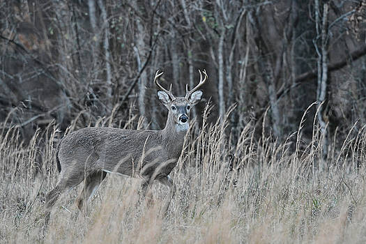Whitetailed Buck In A Field 122620151595 by WildBird Photographs