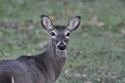 Whitetailed Doe 122620151762 by WildBird Photographs