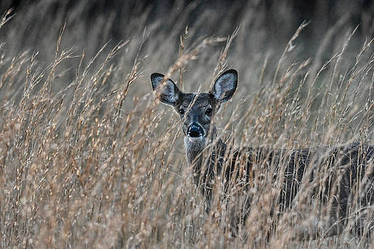 Whitetailed Doe In A Field 122620151581 by WildBird Photographs