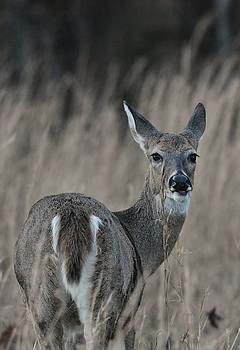 Whitetailed Doe In A Field 122620151661 by WildBird Photographs