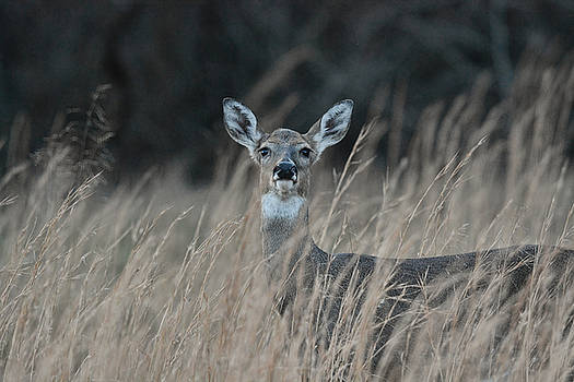 Whitetailed Doe In A Field 122620151717 by WildBird Photographs