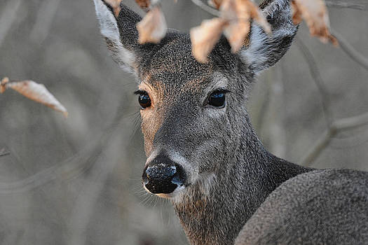 Whitetailed Doe In The Woods 122620151757 by WildBird Photographs
