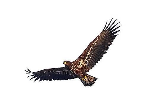 Whitetailed eagle transparent by Jouko Lehto