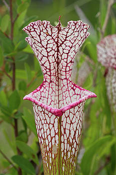 Whitetop Pitcherplant by Paul Rebmann