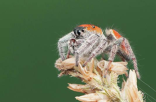 Whitman's Jumping Spider by Derek Thornton