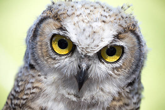 Whooo by Tom Buchanan