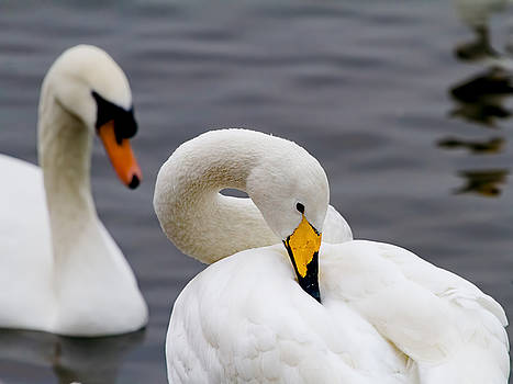 Whooper and Mute Swans by Mr Bennett Kent