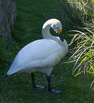 Dee Carpenter - Whooper Swan
