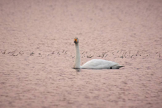Whooper swan in Pink by Jouko Lehto