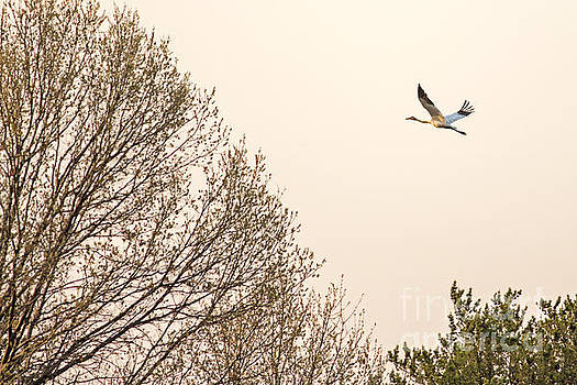 Whooping Crane In Flight at Dusk by Natural Focal Point Photography