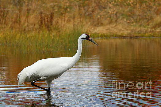 Whooping Crane by Janet Pugh