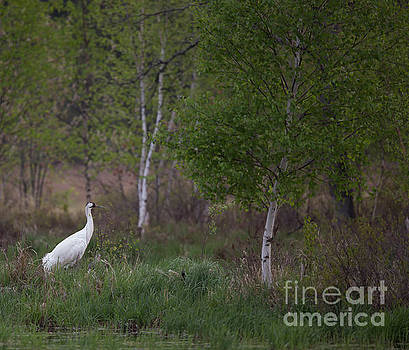 Whooping Crane Nesting by Natural Focal Point Photography