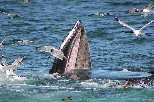 Wide Open Mouth Humpback Whale by Linda Sannuti